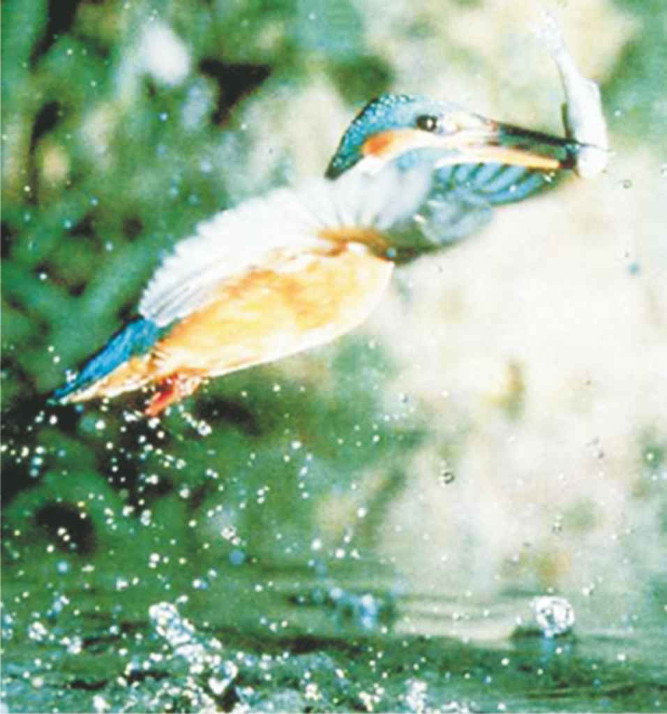 A photograph of a kingfisher which is now able to feed in a previously polluted river which has been cleaned up by treating it with a solution of hydrogen peroxide.
